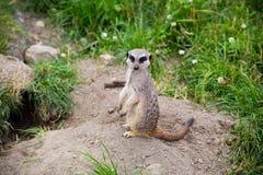 Meerkat, Suricata, suricatta anche conosciuto come il suricate Wildlif Immagini Stock