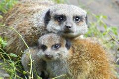 Meerkat (Suricata suricatta) baby Stock Image