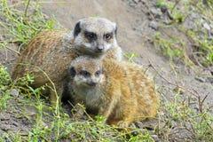 Meerkat (Suricata suricatta) baby Royalty Free Stock Photos