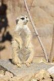 Meerkat, Suricata suricatta, basking in the autumn sun Stock Photos