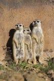 Meerkat, Suricata suricatta, basking in the autumn sun Royalty Free Stock Photography