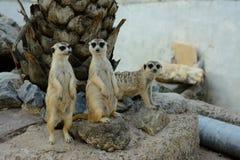 Meerkat (Suricata suricatta) Royalty Free Stock Images
