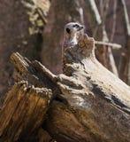 Meerkat-Suricata suricatta bei Chester Zoo, Cheshire Stockbild