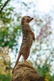 Meerkat Suricata suricatta. Brown Meerkat animal Suricata suricatta Royalty Free Stock Photography