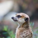 Meerkat, suricata suricatta Royalty Free Stock Images