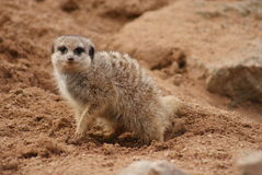 Meerkat - Suricata suricatta Royalty Free Stock Photo