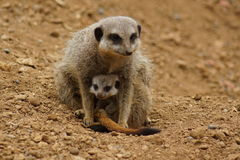 Meerkat - Suricata suricatta Royalty Free Stock Photography