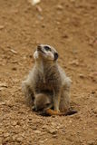 Meerkat - Suricata suricatta. Close-up image of a Meerkat - Suricata suricatta Royalty Free Stock Image
