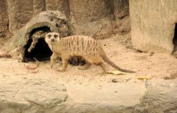 Meerkat Suricata suricatta crawls on the ground and look at the stock photography
