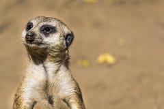 Meerkat (Suricata suricatta) with curious baby, Kalahari desert, South Africa Royalty Free Stock Image