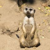 Meerkat (Suricata suricatta) with curious baby, Kalahari desert, South Africa Stock Photo