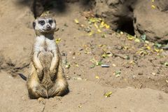 Meerkat (Suricata suricatta) with curious baby, Kalahari desert, South Africa Royalty Free Stock Photos