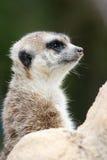Meerkat   (Suricata suricatta). A detail shot of a meerkat (Suricata suricatta Royalty Free Stock Image