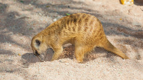 The meerkat (Suricata suricatta) is digging. For the food Stock Photography