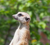 Meerkat Or Suricata Suricatta Royalty Free Stock Photography