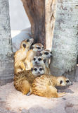 The meerkat (Suricata suricatta) family. For background use Stock Photography