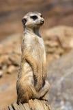 Meerkat, Suricata suricatta, female guard Stock Photography