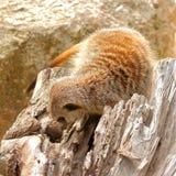 Meerkat looking for food Royalty Free Stock Image