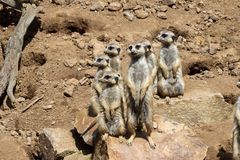 Meerkat, Suricata suricatta. Group of female meerkats on guard Royalty Free Stock Photography