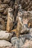 Meerkat or Suricata Suricatta Royalty Free Stock Photo