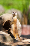 The meerkat (Suricata suricatta) guard Royalty Free Stock Photography