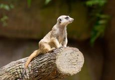Meerkat ,Suricata suricatta, guard in attention. Singapore zoo. royalty free stock photo