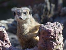 Meerkat (Suricata suricatta) Stock Photography
