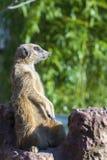 Meerkat (Suricata suricatta) Stock Photos