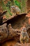 Meerkat-Suricata suricatta im Zoo Stockfoto