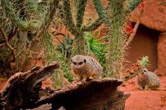 Meerkat-Suricata suricatta im Zoo Stockfotografie