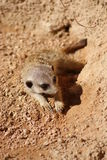 Meerkat - Suricata suricatta Stock Photography