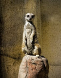 Meerkat - Suricata suricatta Stock Image