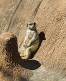 Meerkat - Suricata suricatta 2 Stock Photos