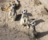 Meerkat (Suricata suricatta). Stock Image