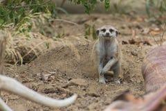 Meerkat (Suricata suricatta) Stock Images