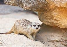 Meerkat suricata suricatta Stock Photo