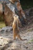 Meerkat Suricata suricatta. Looking up Royalty Free Stock Image