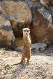 Meerkat Suricata suricatta stock photo