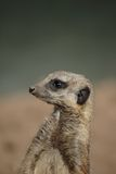 Meerkat (Suricata suricatta) looks around Royalty Free Stock Images