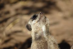 Meerkat (Suricata suricatta) looks around Stock Images