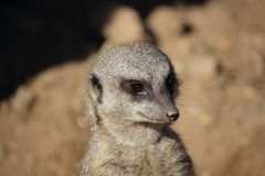 Meerkat (Suricata suricatta) looks around Royalty Free Stock Photography