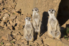 Meerkat, Suricata suricatta, observing surroundings Stock Photography