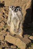 Meerkat, Suricata suricatta, obserwuje otoczenia Obraz Stock