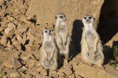 Meerkat, Suricata suricatta, obserwuje otoczenia Fotografia Stock