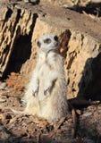 Meerkat suricata suricatta Stock Image