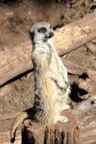 Meerkat suricata suricatta Royalty Free Stock Photos