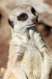 Meerkat suricata suricatta Royalty Free Stock Photo
