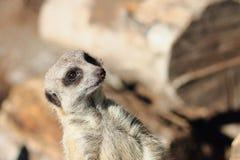 Meerkat suricata suricatta Royalty Free Stock Images