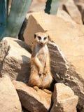 Meerkat, suricata suricatta, ostrzeżenie na strażniku na skalistej i suchej ziemi, Południowa Afryka Zdjęcia Stock