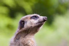 Meerkat (Suricata suricatta) portrait. Close portrait of a guarding meerkat Stock Photo